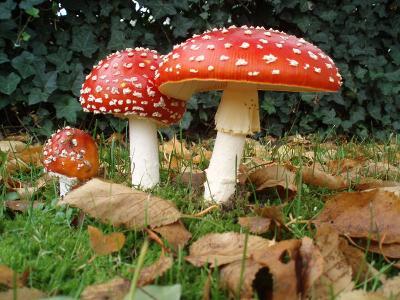 Ядовитые грибы Статьи и полезные материалы от ru Однако полное лукошко красивых и ароматных грибов вполне может стать не только вкусным добавлением к различным блюдам но причиной серьезнейшего отравления