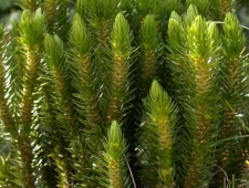 Плаун булавовидный (бегун, зеленка ликоподий) - Lycopodium clavatum L. Семейство плауновых - Lycopodiaceae.